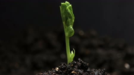 ervilhas : Germinating Pea Bean Seed Growing in Ground Agriculture Spring Summer Timelapse
