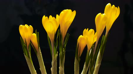 çiğdem : Timelapse of crocus flower blooming on black and blue background Timelapse