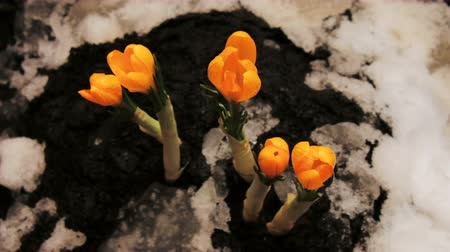 çiğdem : Timelapse of crocus flower blooming growing from snow Timelapse