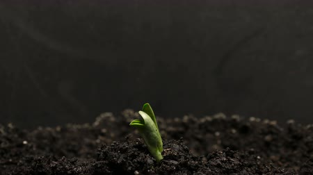 vagens : Growing green bean plant. Timelapse growing, Closeup nature shoot.