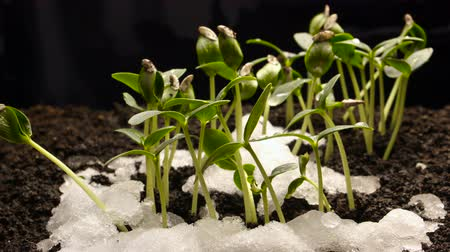 nurture : Growing from Snow Cucumber Bean Seeds Agriculture Timelapse
