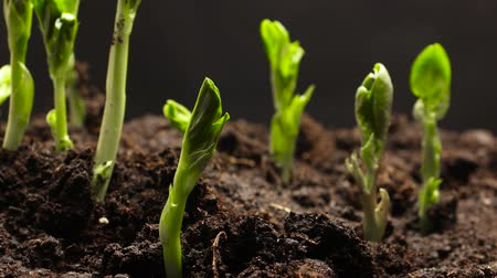 feijões : Time lapse of vegetable seeds growing or sprouting from the ground Stock Footage