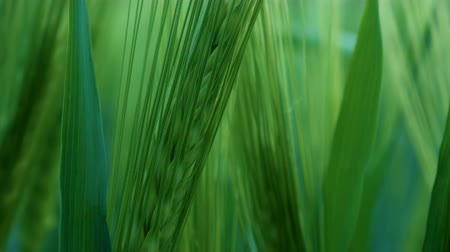 spring breeze : Green wheat stalks blow in the wind. Natural Wheat field. Bueutiful nature wheat field with clouds in sunny day. Stock Footage