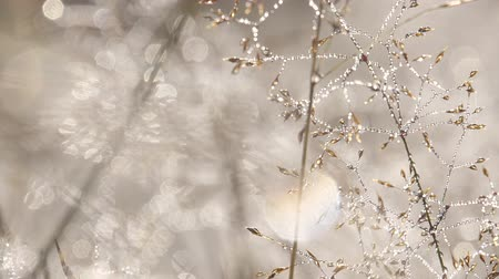 tracking : Dew Drops Glistens On Golden Grass In A Field Stock Footage