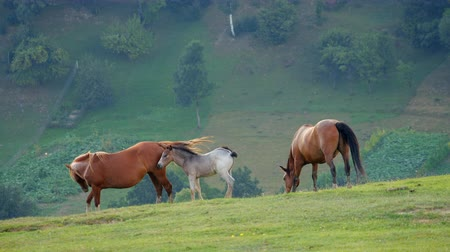 konie : Wild horses Grazing on a field in the mountains Wideo