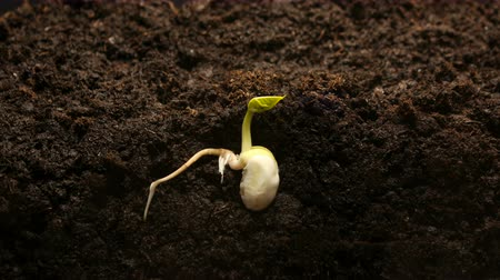 semínko : Germinating Seed Growing in Ground Agriculture Spring Summer Timelapse