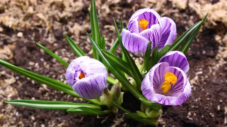 damascos : Timelapse of opening crocus. Spring and Summer Flower Fast motion Stock Footage