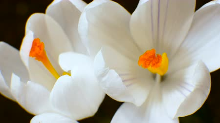 macro fotografia : Flower Crocus Blossoming and growing spring macro timelapse Vídeos