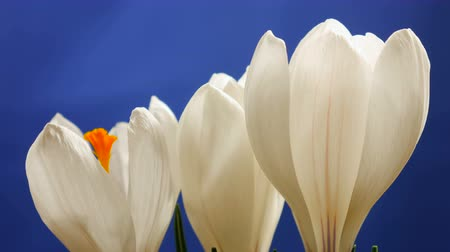 aydınlatmalı : Flower Crocus Blossoming and growing spring macro timelapse Stok Video