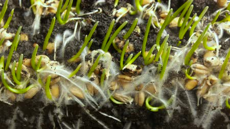 törékeny : Germinating Wheat Seed Growing in Ground. Bread Sprouting Spring Timelapse