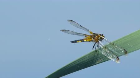 libélula : Dragonfly are sitting on a leaf near the river, The dragonfly catching on the tree branch and wood stump at outdoor, Beautiful dragonfly in the natural habitat.