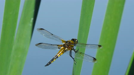 ruddy : Dragonfly are sitting on a leaf near the river, The dragonfly catching on the tree branch and wood stump at outdoor, Beautiful dragonfly in the natural habitat.