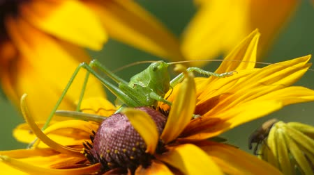 tehdit : Locust at farm, Big Green Grasshopper on Flower. Macro, Colorful nature Shot.