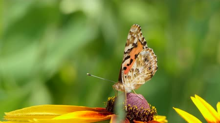 open blossom : Beautiful butterfly on a yellow flower in the garden, summer nature, Colorful shot . Stock Footage