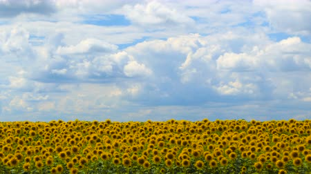 цветущий : Timelapse of Sunflower field at day Amazing beautiful nature backgound and landscape