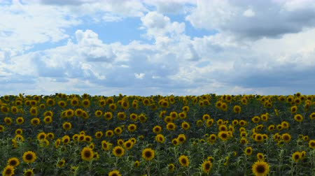 blooming time lapse : Timelapse of Sunflower field at day Amazing beautiful nature backgound and landscape