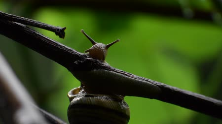 jardim : Snail. Grape snail in the natural habitat at night