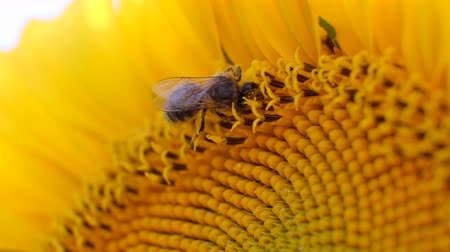 fragilidade : Macro of bee gathering honey from sunflower in field Stock Footage