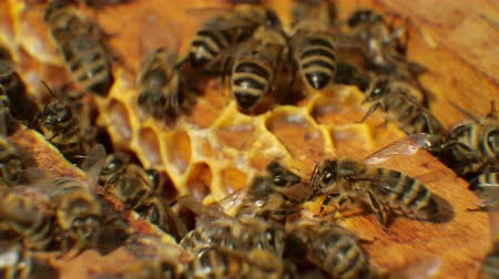 cera de abelha : Bees in hive produce wax and build honeycombs from it. Stock Footage