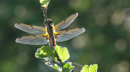 szitakötő : Yellow and black dragonfly flying on tree in beautiful morning sunrise.