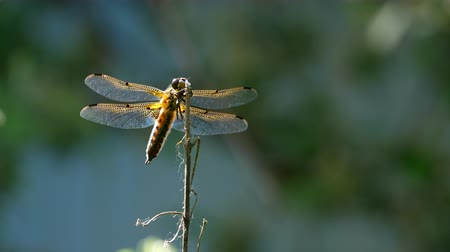 hmyz : Yellow and black dragonfly flying on tree in beautiful morning sunrise.