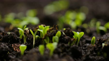 kiemen : Growing plants in spring timelapse, sprouts germination newborn cress salad plant in greenhouse agriculture