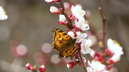 quadrilateral : Blooming and blossoming with butterfly on cherry Pink flower on fruit tree. White beautiful sakura flower