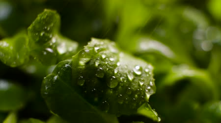 harmatcsepp : Water Drop Flows Down on a Leaf, Rain in green meadow