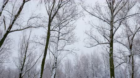 страна чудес : Snow falling on tree branches in Winter christmas season background. Beautiful nature landscape