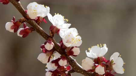 quadrilateral : Blooming and blossoming on cherry Pink flower on fruit tree White beautiful sakura flower