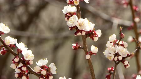 meruňka : Blooming and blossoming on cherry Pink flower on fruit tree White beautiful sakura flower