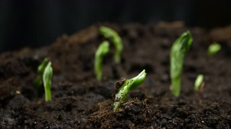 kiemen : Growing Plants Timelapse Pea Sprouts Germination. Food growing at farm
