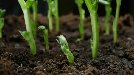 develop : Growing Plants Timelapse Pea Sprouts Germination. Food growing at farm