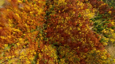 yaprak döken : Drone flight over fall forest. Autumn leaves and trees. Orange, Red, Yellow and Green beautiful scene.
