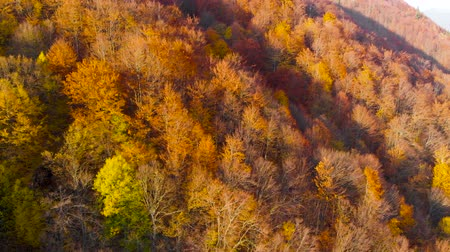 yaprak döken : Fall forest Drone flight. Autumn leaves and trees. Orange, Red, Yellow and Green beautiful scene.