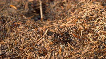 termite : Big anthill in the woods. Big anthill with colony of ants in forest. Ants on the ant hill in the woods closeup Stock Footage