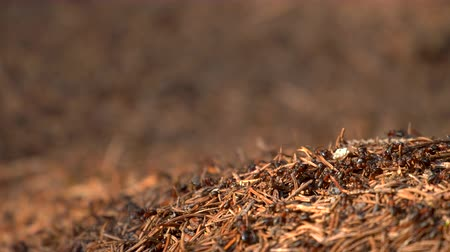 extreme close up : Ants Colony in Wildlife. Big Anthill in forest close-up. Natural background