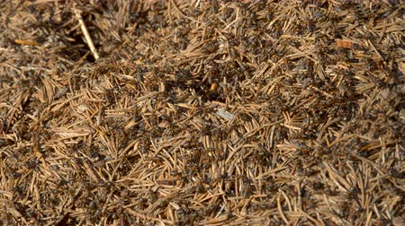 termite : Ants Colony in Wildlife. Big Anthill in forest close-up. Natural background