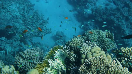 coral garden : Coral garden seascape. Tropical underwater sea fishes. Underwater fish reef marine. Tropical colorful seascape. Underwater reef. Reef coral scene. Stock Footage