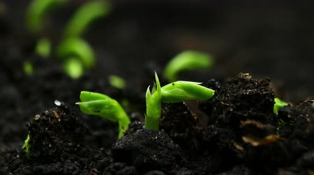 tohum : Growing plants in Spring Timelapse, Sprouts Germination newborn Pea plant in greenhouse agriculture