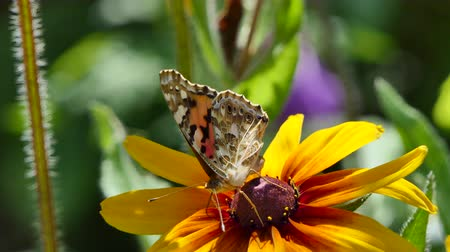 monarca : Beautiful butterfly on a flower in the garden, summer nature.
