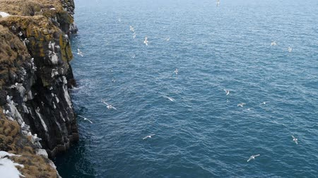 flying sea gull : A Seagull fly over a ocean rock. Close up Slow Motion in Iceland