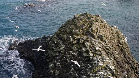 flying sea gull : A Seagull sits on a ocean rock. Close up Slow Motion in Iceland Stock Footage