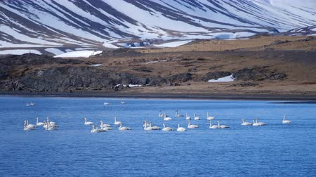 cisne : White Swan in Lake Mountains Landscape. Swans in the winter Iceland. Vídeos
