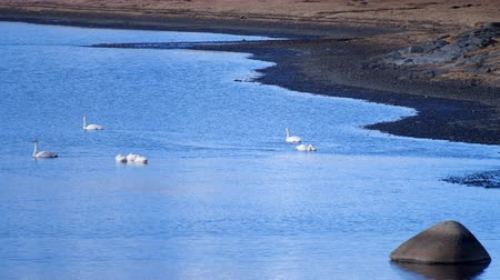White Swan in Lake Mountains Landscape. Swans in the winter Iceland. Videos