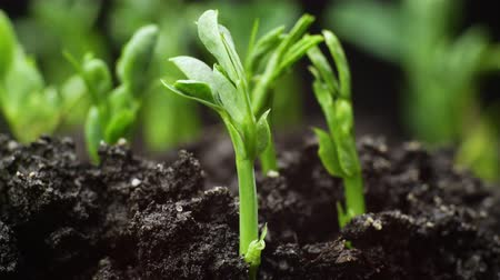yeni : Growing plants in timelapse, sprouts germination newborn green plant agriculture Stok Video