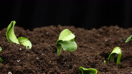 fejleszt : Growing Plants Timelapse Bean Sprouts Germination Stock mozgókép