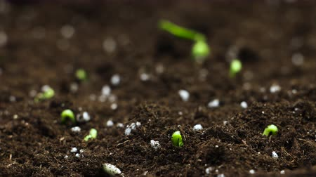 kiemen : Timelapse of Growing plant, Sprouts Germination in greenhouse Agriculture Stockvideo