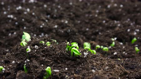Spring Timelapse of Growing plant, Sprouts Germination