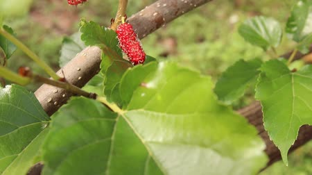 dut : Fresh ripe juicy red mulberry from trees, full HD 1920x1080, slow motion at 29 frames per second
